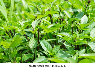 Thai basil is a type of basil native to Southeast Asia. its flavor, described as anise- and licorice-like and slightly spicy