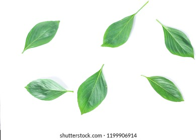 Thai basil in white background. Select focus.
