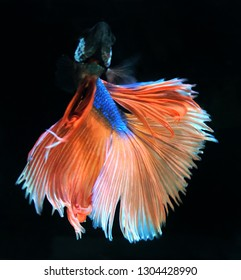 Thai betta fish, blue-tailed orange, with a black background