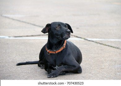 Thai black stray dog laying down on the street. It is a dog that lives on the streets or temple and does not have an owner.