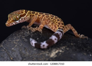 Thai bow-fingered gecko (Cyrtodactylus peguensis)
