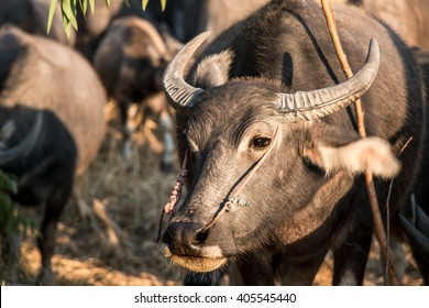Thai Buffalo or carabao walk over the field go back home with sunset. Life' Machine of Farmer. Original agriculture use buffalo plow the field.