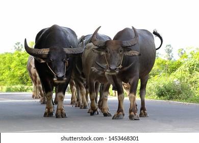 Thai Buffalo or carabao walking on the road.