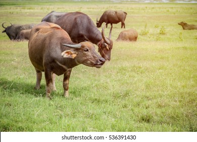 Thai buffalo eating in the grass field with sunlight glare