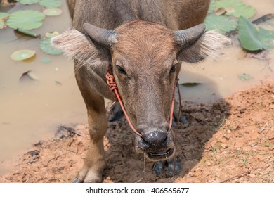 Thai Buffalo are feeding at canal. Life Machine of Farmer. Original agriculture use buffalo plow the field.
