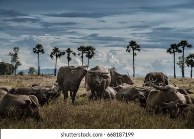 Thai buffalo in a field, Lampang Thailand