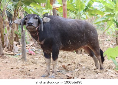 Thai buffalo has special horn