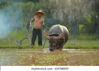 Thai Buffalo on during sunset, Life' Machine of Farmer,white buffalo , Original agriculture use buffalo plow the field,Thailand