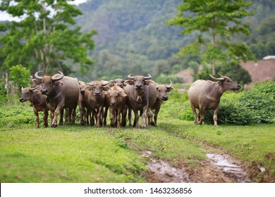 Thai buffalo stained in the green grass fields,funny animal,Buffalo in the countryside thailand