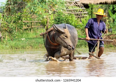 Thai buffalo training for work in rice field at Kasorn Kasivit Water Buffalo Agricultural School , Sa kaeo province , Thailand  Date 19/5/2013 Location Sa kaeo province , Thailand
