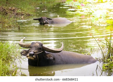 Thai buffaloes are happily soaking in a lotus pond.