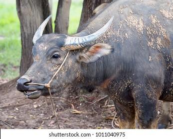 Thai buffalo,water buffalo in Southern of Thailand.