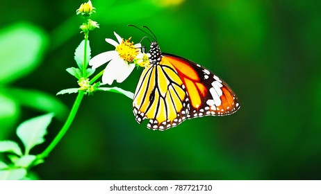 Thai butterflies in pasture flowers Insect outdoor nature