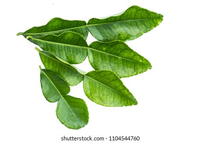 Thai call Bai Magrood : Kaffir lime leaf on seedling trees,Herbal and medicine and also can cook for food