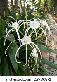 Thai call Phap-phung-Teen-Pet or Spider lily, Giant lily science name  Hymenocallis littoralis(jacg.)Salisb,white long flower are blooming with green leaves in the park on sunshine day.