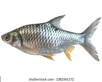 Thai carp fish Silver barb isolate