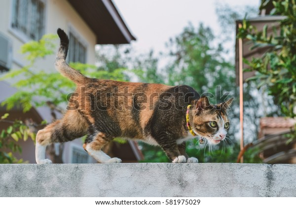 Thai cat is climbing on a fence.