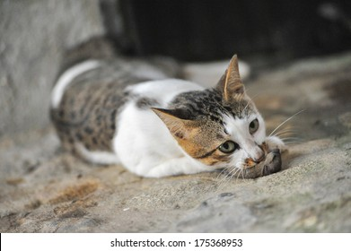 Thai Cat eat rat on the Ground