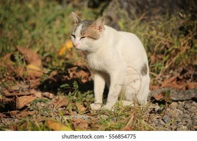 Thai  Cat in the field