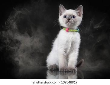 Thai cat in fog on black background