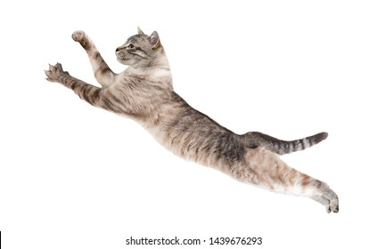 Thai cat in a jump. Isolated on white background.