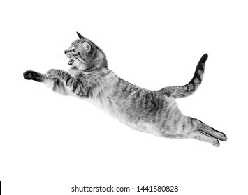 Thai cat in a jump. Isolated on white background. Black and white photo.