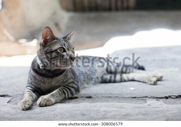 Thai cat in looking action
