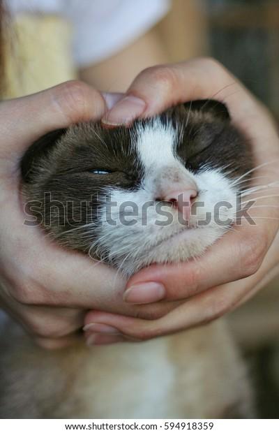 Thai Cat Cat Native Thailand Properties Stock Photo (Edit