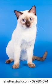 Thai cat on blue background