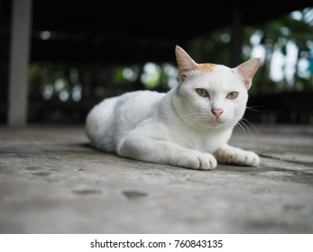 Thai cat. Thai cat on the floor. Thai white cat with straight tail and golden yellow ears.