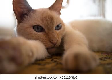 Thai cat on a light background