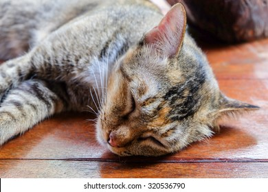 Thai Cat on wooden floor  background.