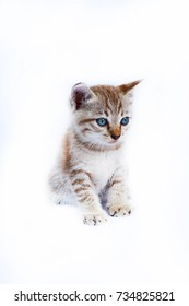 Thai cat sitting on white background.