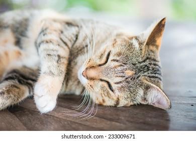 Thai cat in sleeping action, Thailand.