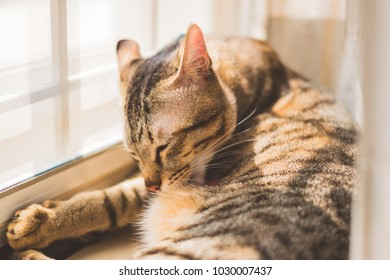 Thai cat or Tabby cat are clean by licking fur, soft to focus, pet at home and pet store concept.