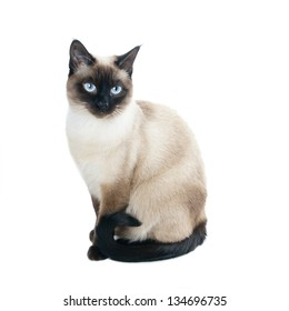 a thai cat is a traditional or old-style siamese cat