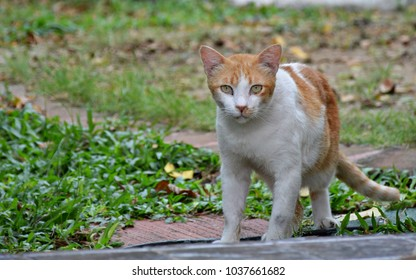 thai cat yellow