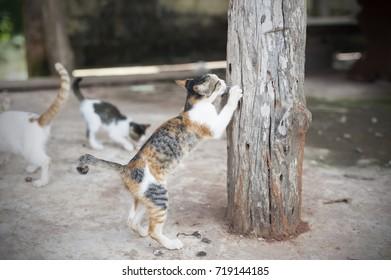 Thai cats.