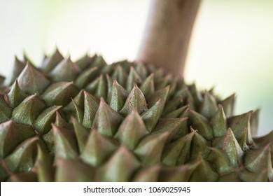 Thai Chanee Durian fruit