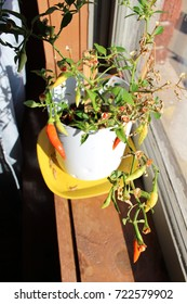 Thai chili pepper plant growing in window of home with red and yellow peppers