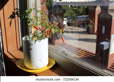 Thai Chili Pepper Plant with orange and red peppers growing in the window