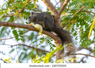 Thai common squirrel gnawing the Vegetable hummingbird flower on a tree
