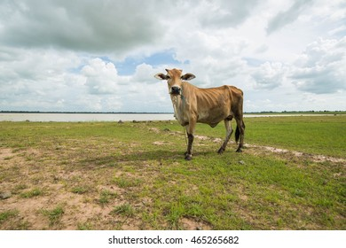 thai cow in the nature.
