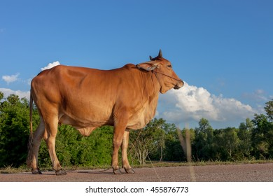 Thai cow resting on reservoirs and blue sky, Isan, Thailand.