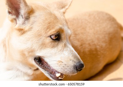 Thai dog
