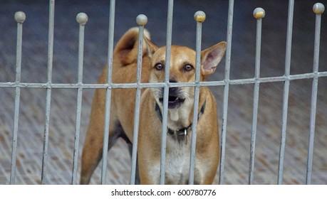 Thai dog is barking.