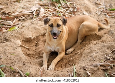 Thai dog dig a hole for lying in very hot day.