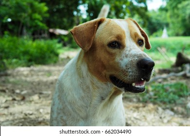 A Thai dog on blur background.