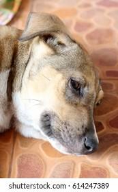 thai dog sleeping outdoors on cement floor