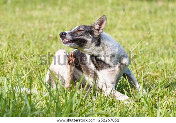 Thai domestic dog scratching its face on green grass in the garden